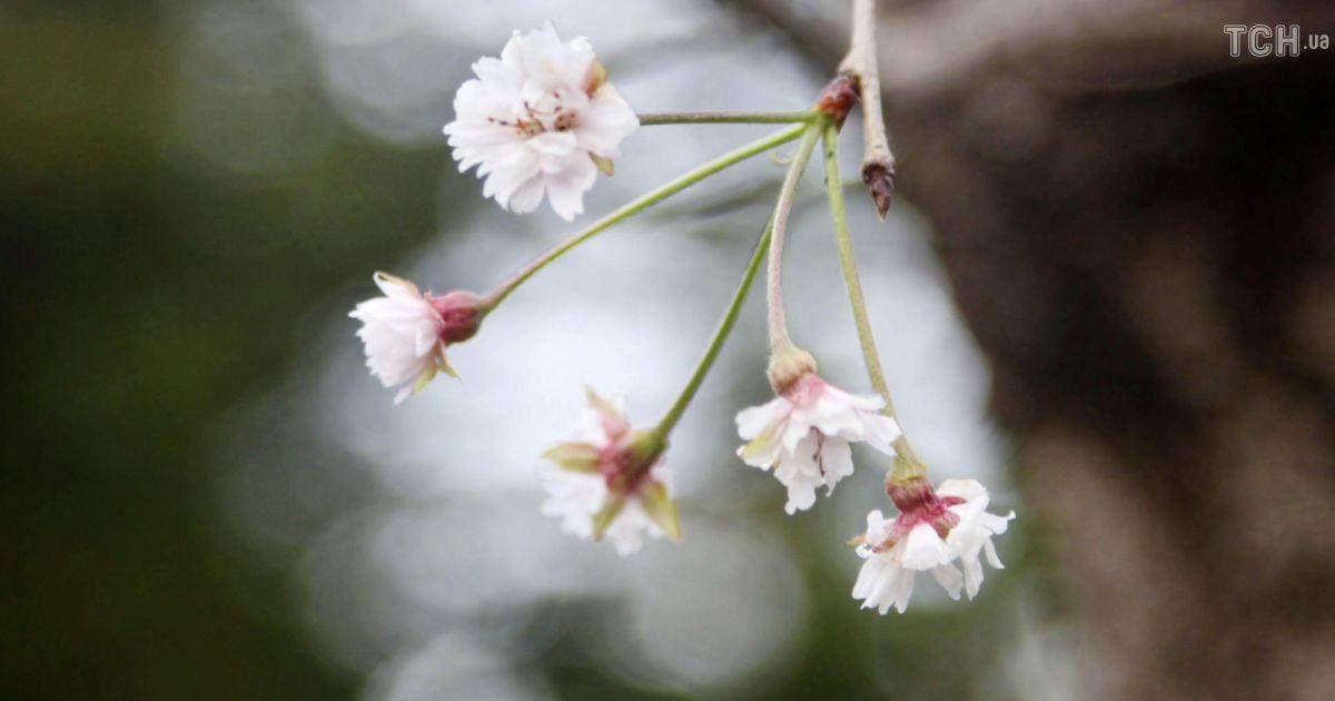Цветение сакуры в Японии @ Reuters