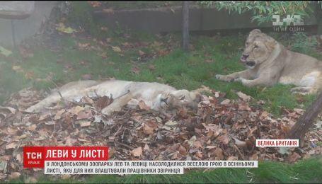 В зоопарке Лондона лев и львицы поиграли в осенней листве