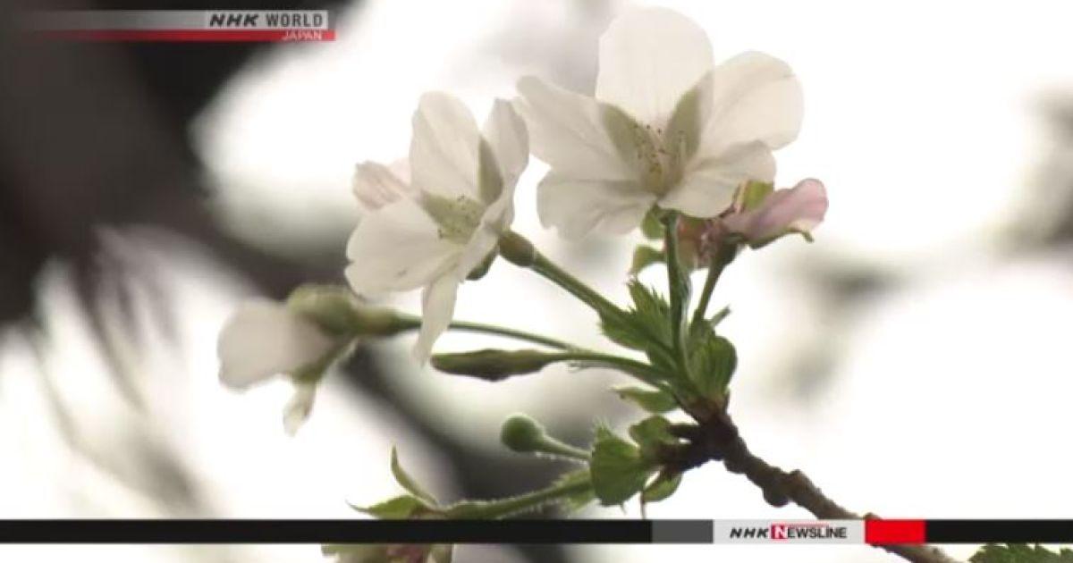 Цветение сакуры в Японии @ NHK