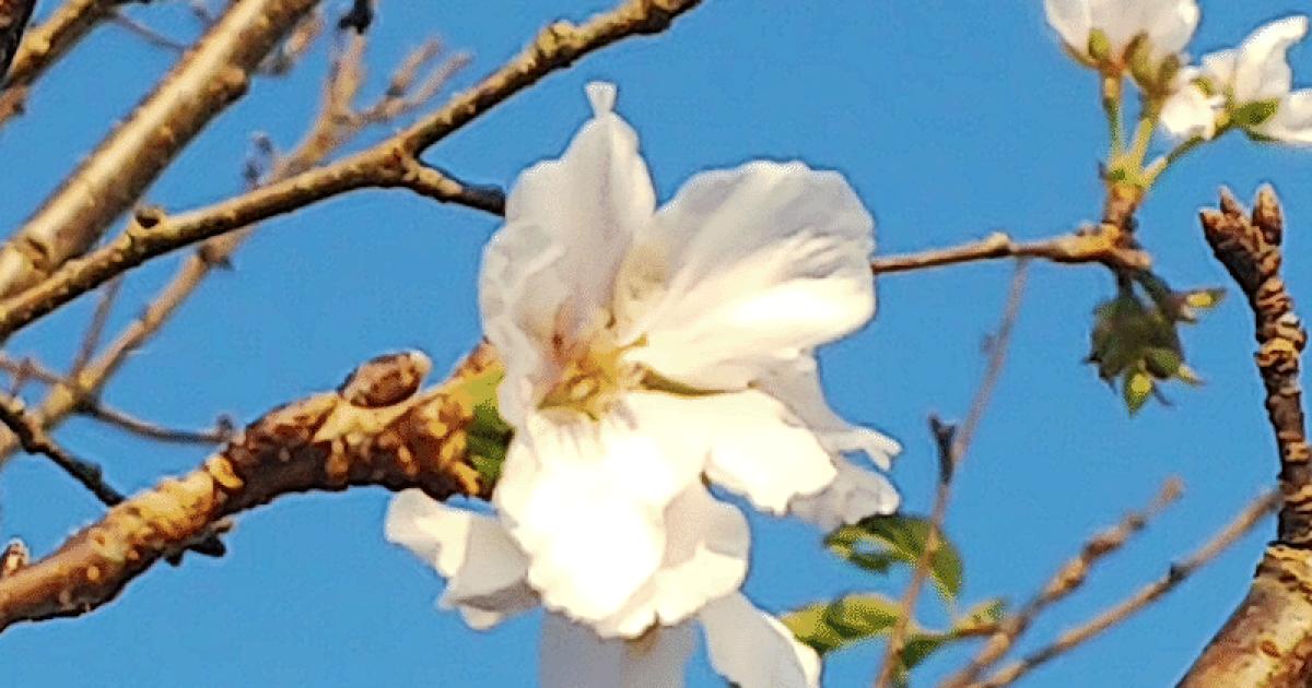 Цветение сакуры в Японии @ weathernews