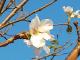 Цвітіння сакури у Японії