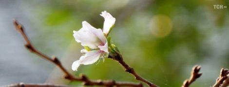 Преждевременная весна. В Японии на полгода раньше зацвела сакура