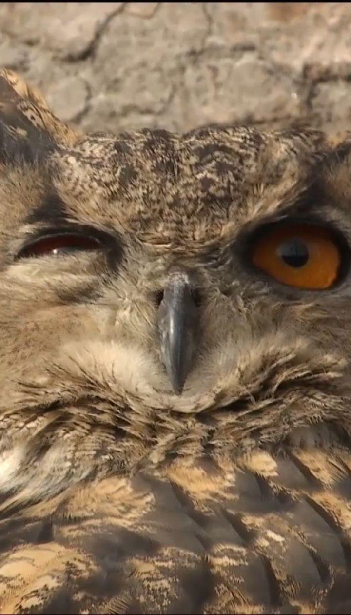 Мандри сови. Червонокнижному птаху, який залетів на приватне подвір'я, знайшли новий дім