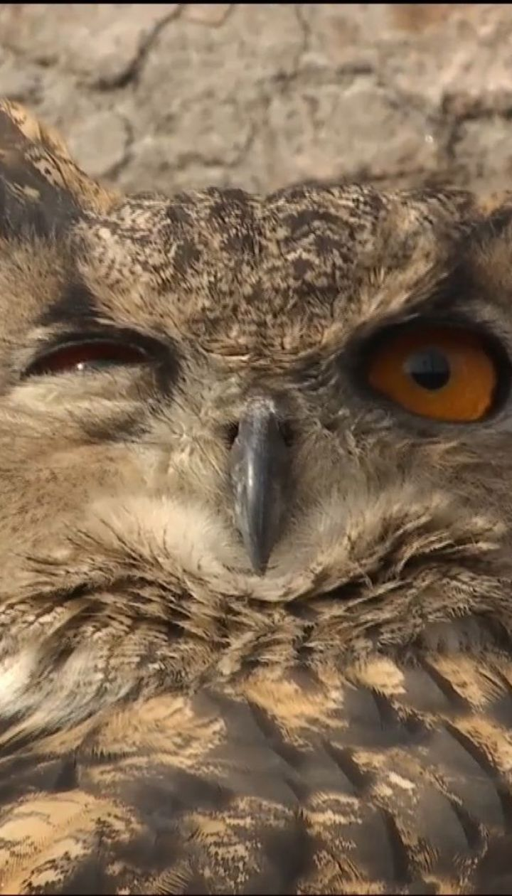 Путешествия совы. Краснокнижной птице, которая залетела в частный двор, нашли новый дом