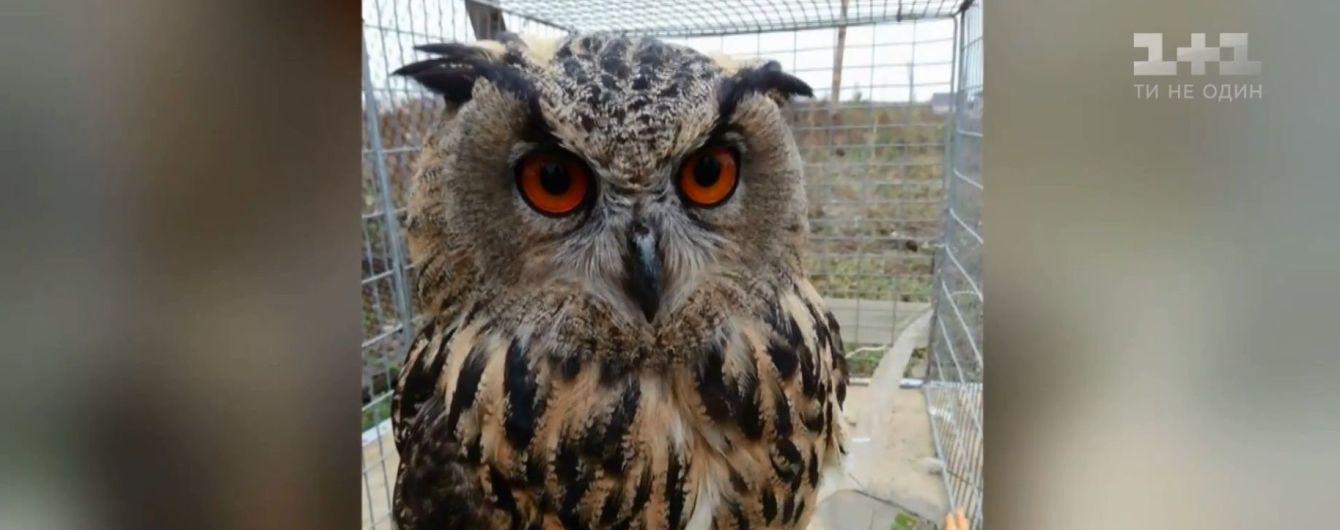 Приключения краснокнижной совы: найденного под Киевом филина приютили в Галичине