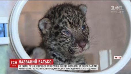 Співробітник звіринцю у Китаї взявся доглядати за двома леопардами, від яких відмовилася мати