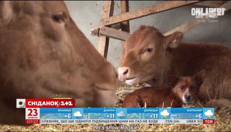 Історія зворушливої дружби песика Рукі і корови стала відомою на весь світ