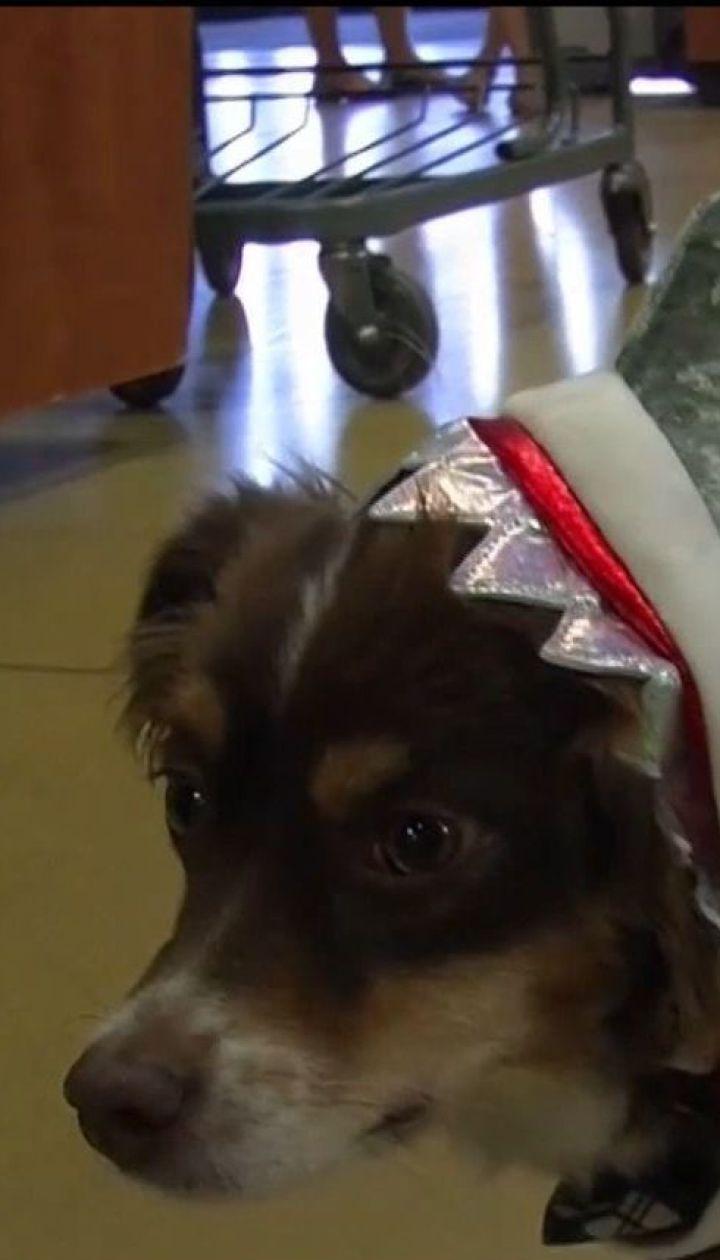 У США набирають популярності святкові костюми до Геловіну для собак