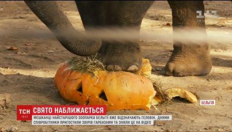 Накануне Хэллоуина в Бельгийском зоопарке животных угостили тыквами