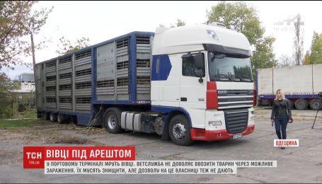 В Черноморском порту от голода и жажды умирают три сотни овец