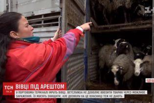 Трупи і нестерпний сморід: у Чорноморському порту через бюрократію конають триста голодних овець