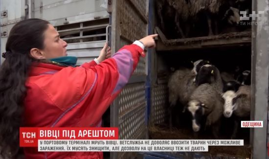 """На Одещині зоозахисники потай нагодували """"замурованих"""" у фурі овець"""