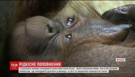 В зоопарке Парижа на свет появился крохотный орангутанг