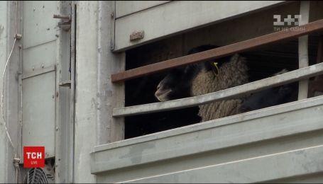 Зоозащитники в Одесской области пытаются спасти замурованных в фуре овец