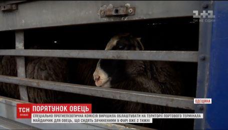 """Специальная комиссия решает судьбу овец, """"замурованных"""" в фуре в Одесской области"""