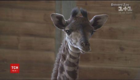В зоопарке Флориды представили новорожденного жирафа