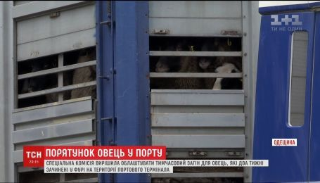"""В Черноморском порту обещают обустроить площадку для овец, """"замурованных"""" в фуре"""