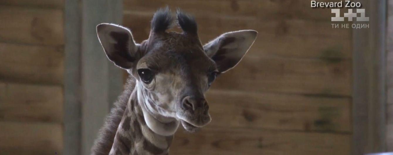 У Флориді показали новонароджене жирафенятко