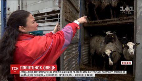 Спасти овец: в Черноморскому порту должны выпустить животных на воздух и покормить