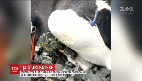 Однополая пара пингвинов из австралийского зоопарка успешно высидела птенца