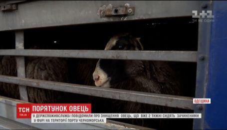 Держспоживслужба сообщила об уничтожении овец, которые сидят закрытыми в фуре