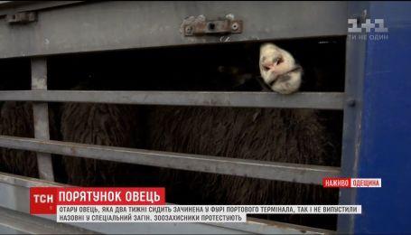Зоозащитники пытаются спасти тару овец, которая сидит закрытой в фуре