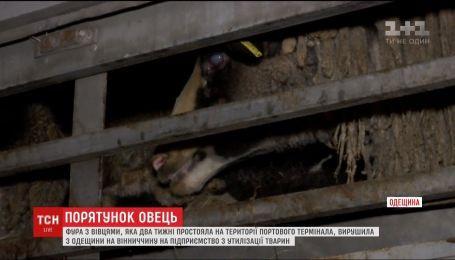 """Фура с """"замурованными"""" овцами отправилась на предприятие по утилизации животных"""