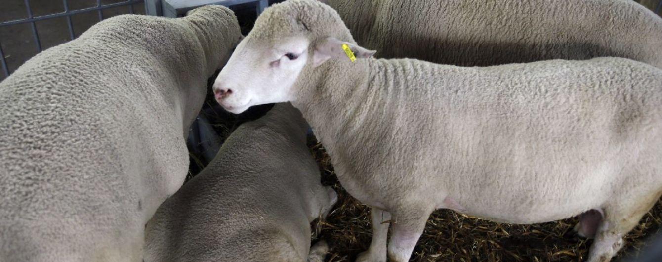 На Виннитчине разгрузили фуру с овцами. Часть животных погибла