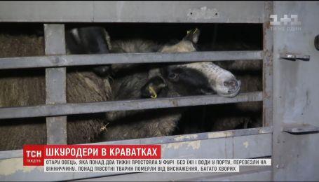 """Найти виновных: кто ответит за смерть овец, """"замурованных"""" в фуре в порту под Одессой"""