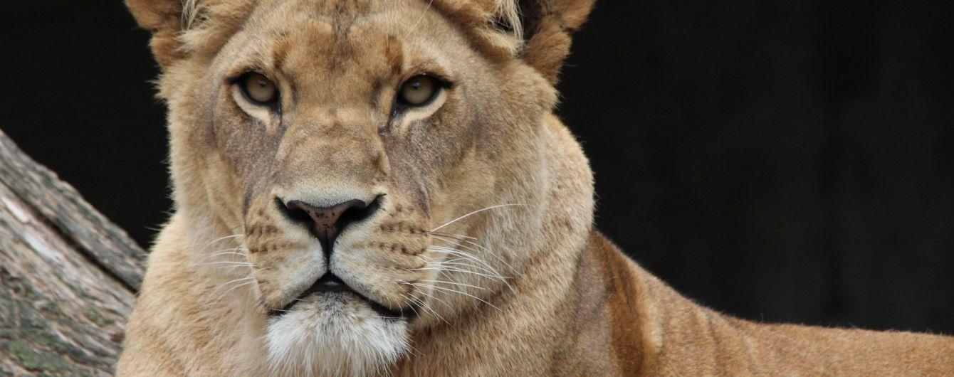 В американском зоопарке лев сбежал из клетки и убил 22-летнюю девушку