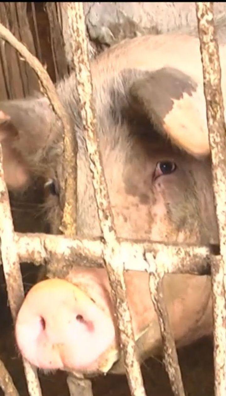Спалах африканської чуми. Ветеринари утилізували тисячі свиней на Буковині