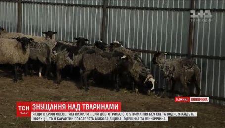 У овец, которых держали в закрытой фуре, возьмут анализы крови