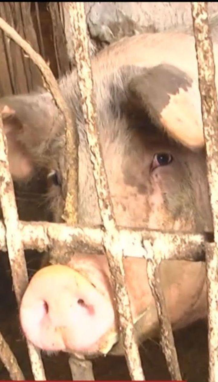 Вспышка африканской чумы. Ветеринары утилизировали тысячи свиней на Буковине