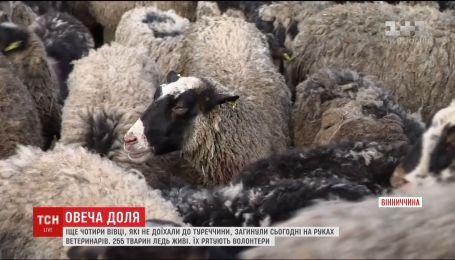 """Результаты анализа как приговор: """"замурованных"""" в фуре овец могут уничтожить"""