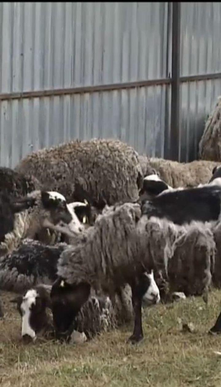В очікуванні результатів аналізів вівці з урятованої отари поступово помирають