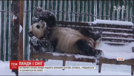 На півночі Китаю перший сніг неабияк потішив панд