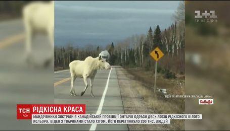 Редкая красота: канадские путешественники встретили необычных белых лосей