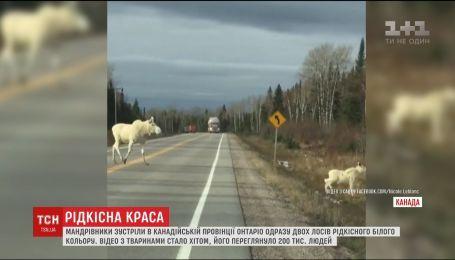 В канадской провинции путешественники встретили сразу двух лосей белого цвета