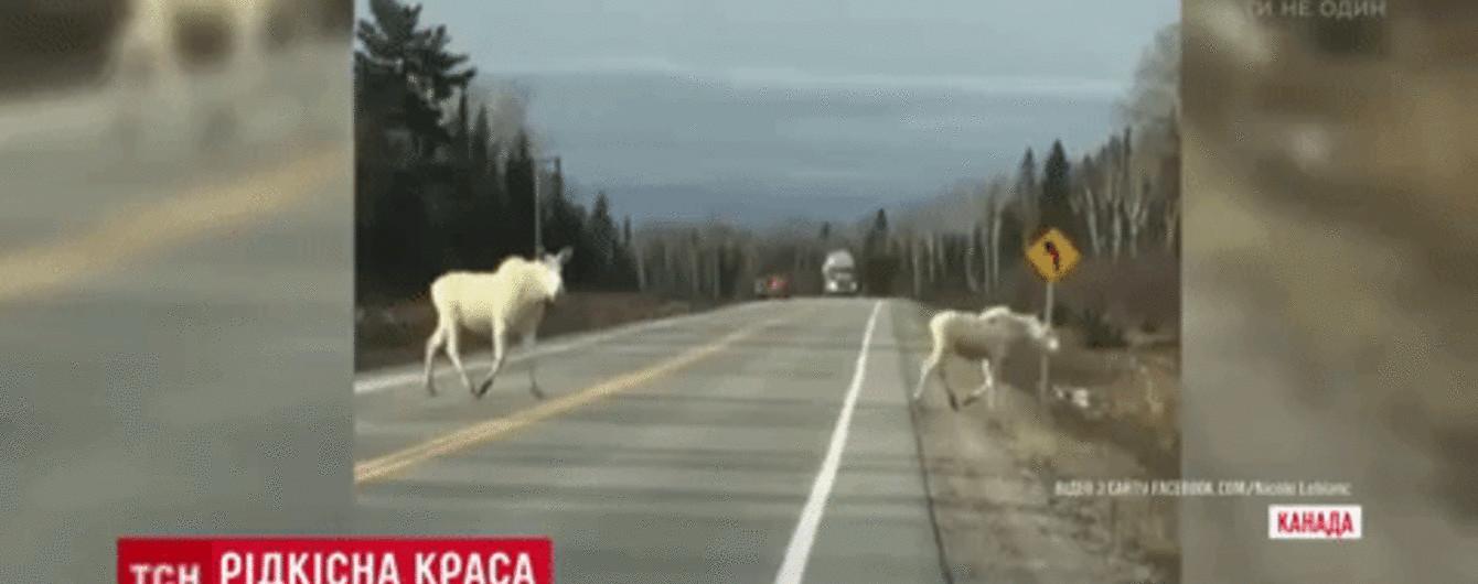 У Канаді мандрівники натрапили на пару рідкісних білих лосів