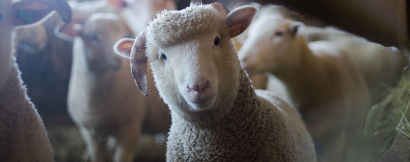 """Після мору овець у """"фурі смерті"""" Держспоживслужба зробила вимоги до перевезення тварин жорсткішими"""