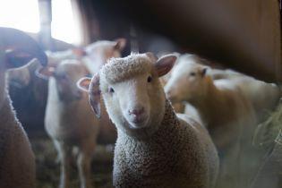 После скандала с овцами потребслужба обязала инициировать улучшение условий для животных в портах