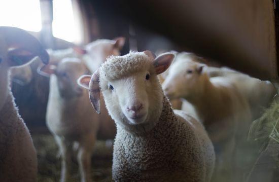 Після скандалу з вівцями споживслужба зобов'язала ініціювати покращення умов для тварин в портах