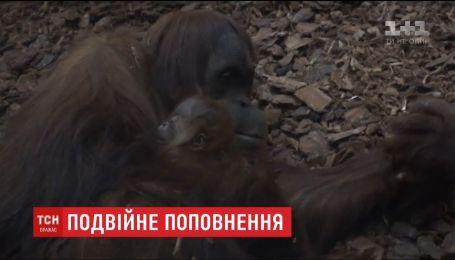 В бельгийском зоопарке на свет появился крохотный орангутан