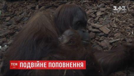 У бельгійському та німецькому зоопарках народилися малюки орангутанів