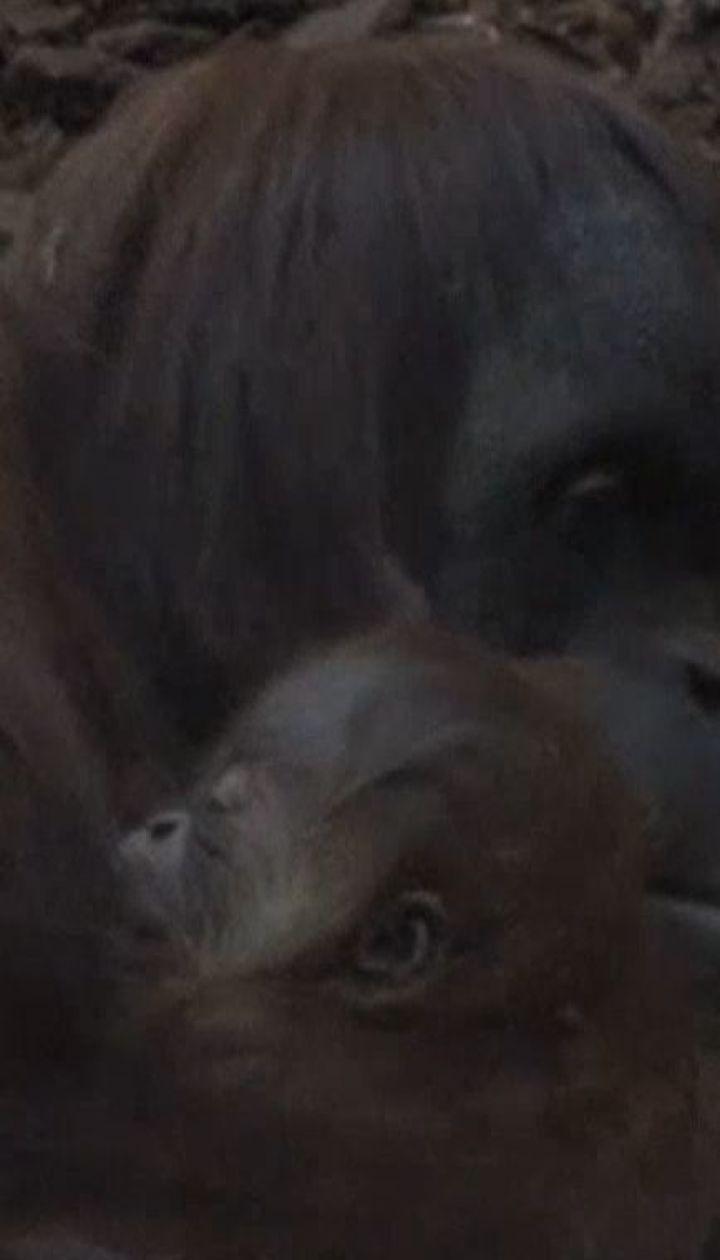 В бельгийском и немецком зоопарках родились малыши орангутанов