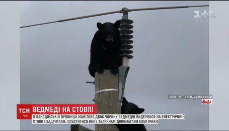 В Канаде двое черных медведей вскарабкались на электрический столб и уснули