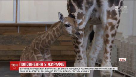 В одесском биопарке у пары жирафов родился малыш