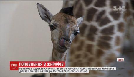 Детеныш человеческого роста: у пары одесских жирафов появился наследник