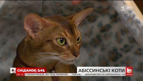 """В гостях """"Сніданка"""" - владелица абиссинских кошек Ольга Скабовська и ее любимцы"""