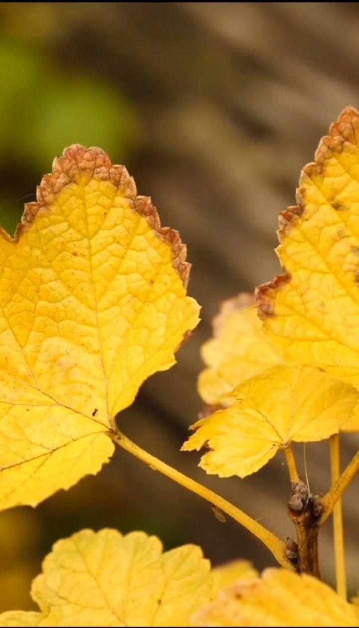 Як швидко зібрати листя і чи потрібно його спалювати - Осінь на дачі